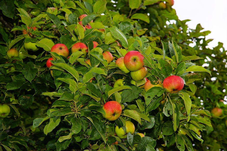 apple-tree-1593216_960_720